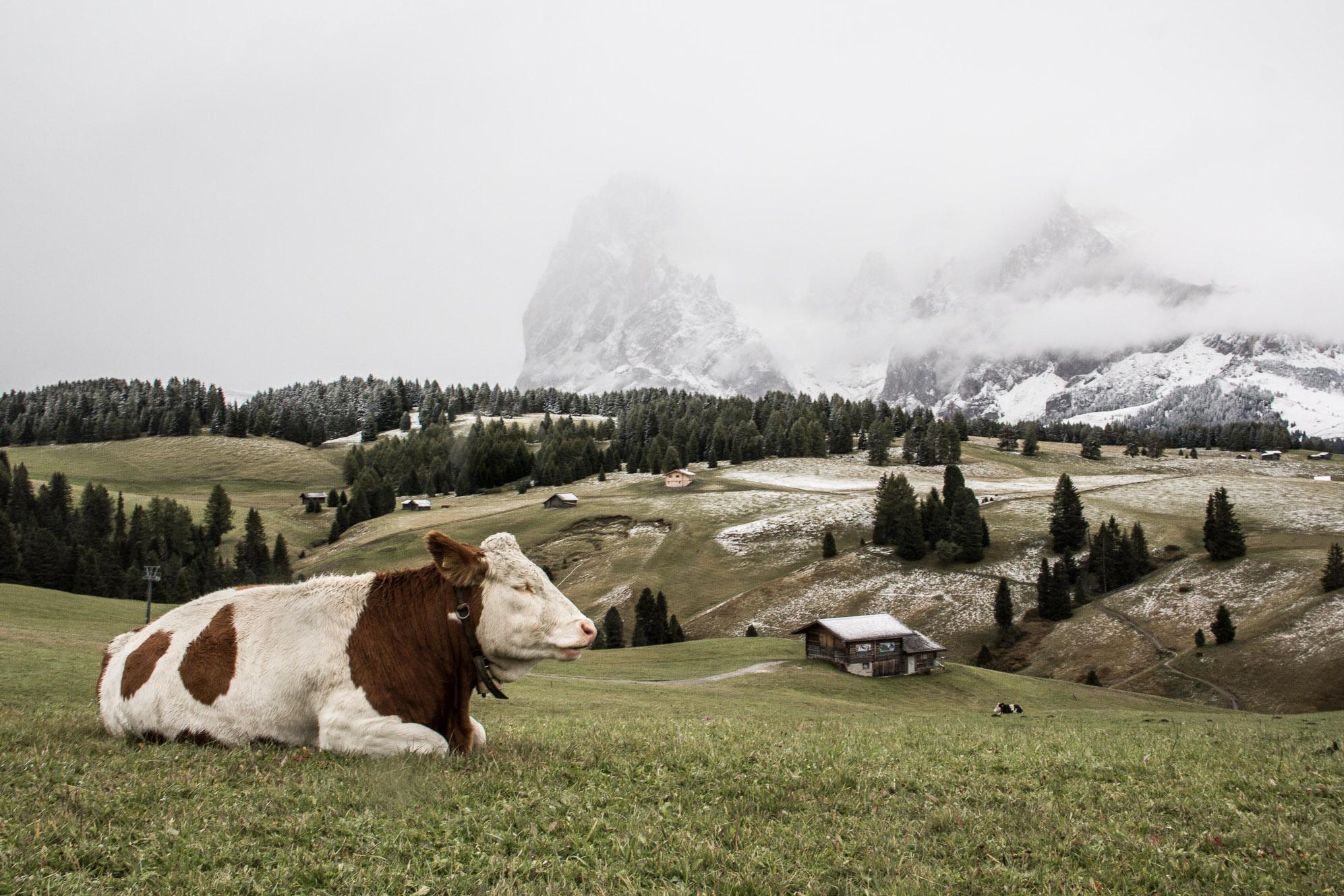 Une vache se repose tranquillement dans l'Alpe di Siuisi dans les Dolomites.