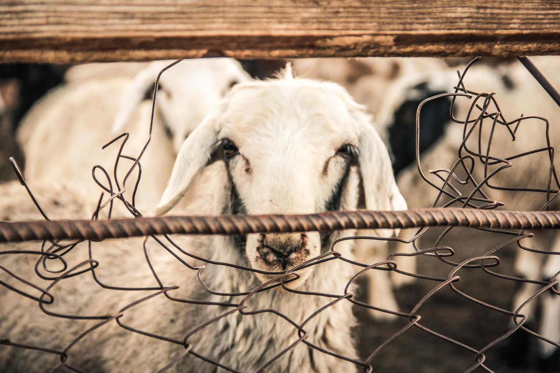 Elevage de chèvre en Mongolie