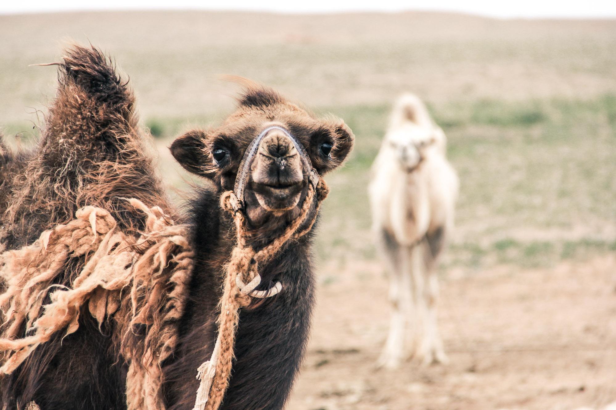 Gobi - Bébé chameaux en Mongolie