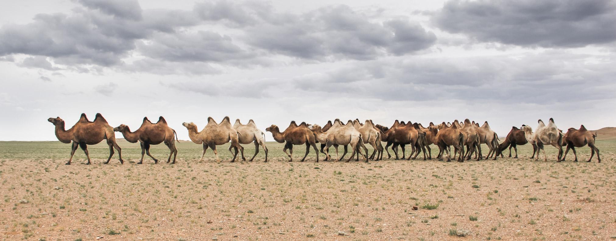 Des chameaux en Mongolie