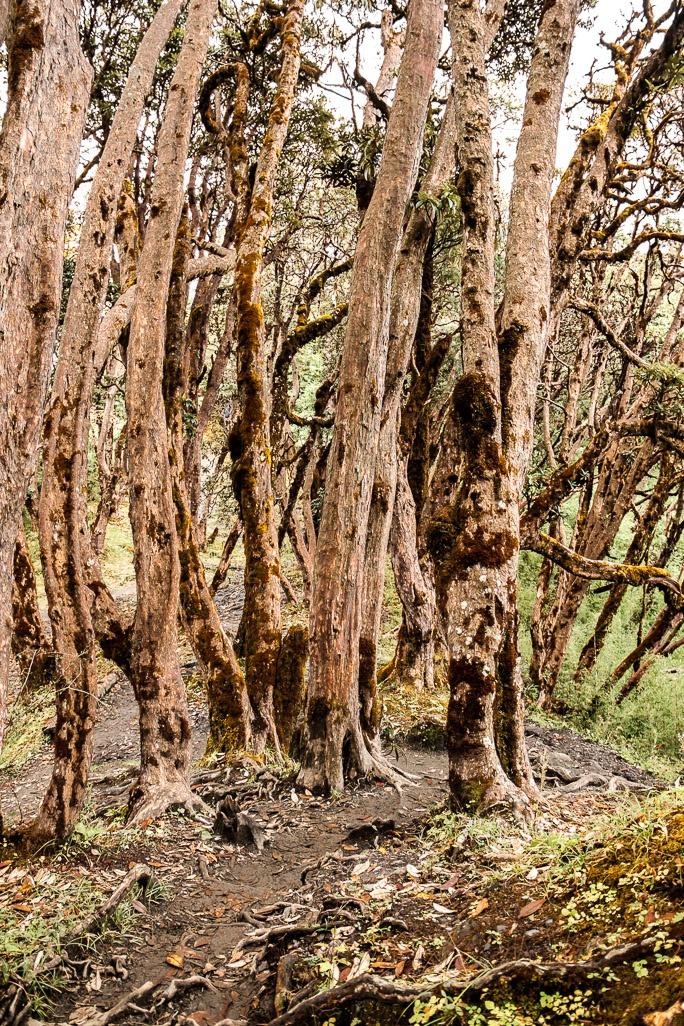 Chemin dans la forêt sur le trajet du trek de Poon-Hill