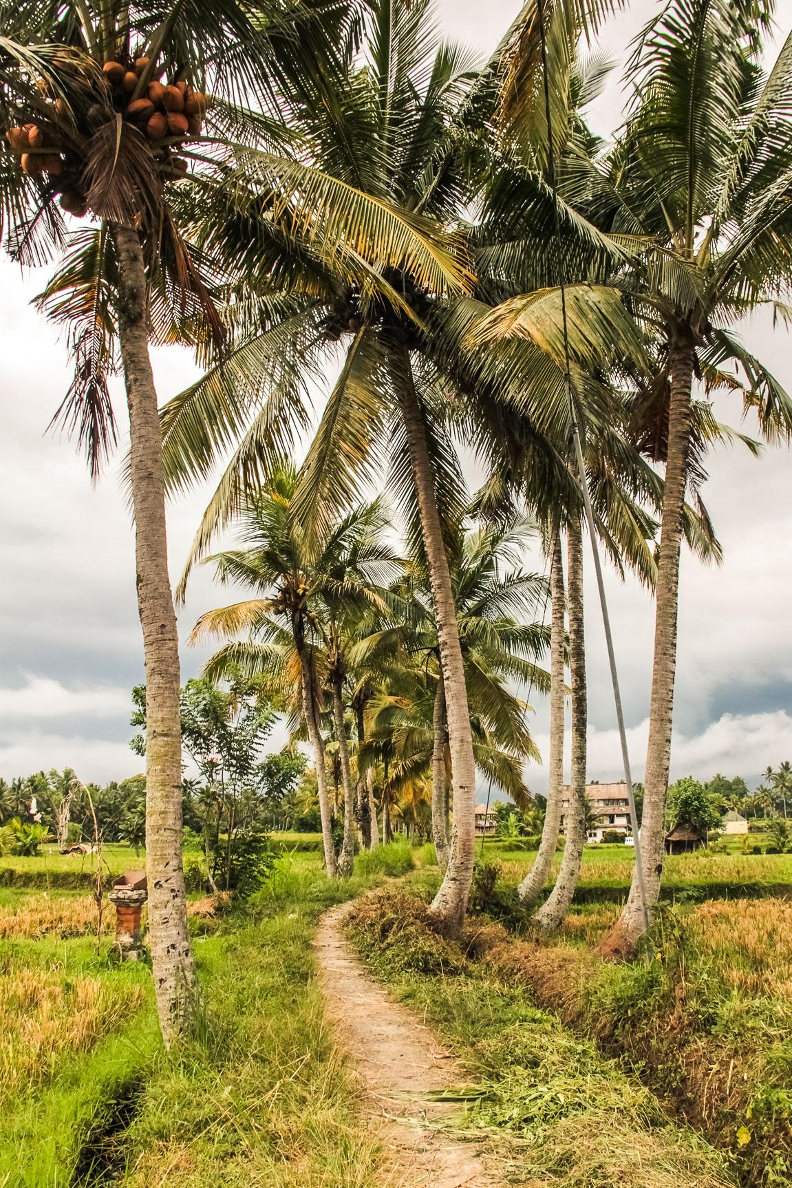 Chemin à travers les rizières d'Ubud à Bali