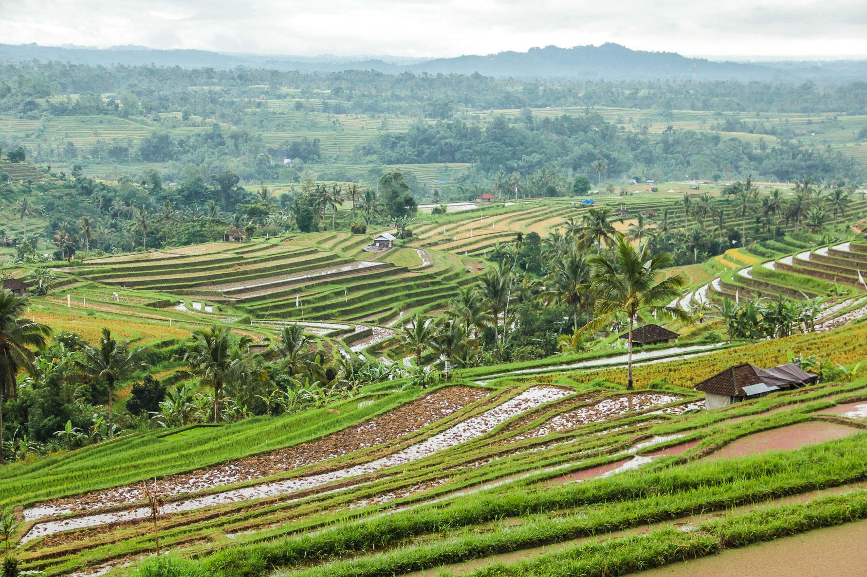 Des rizières à Bali