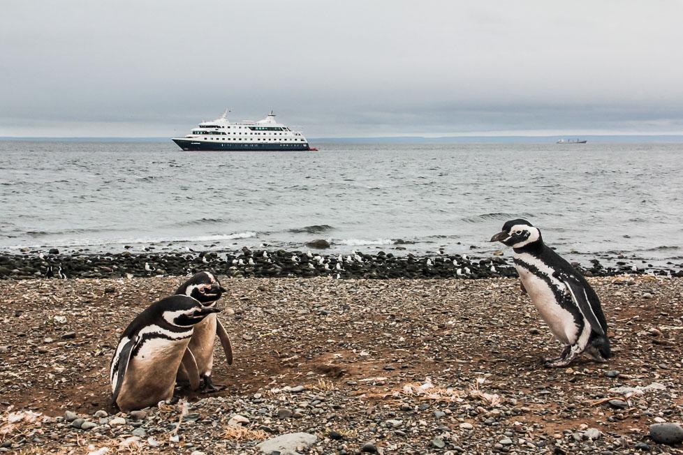 Pingouins sur l'île Magdalena au Chili