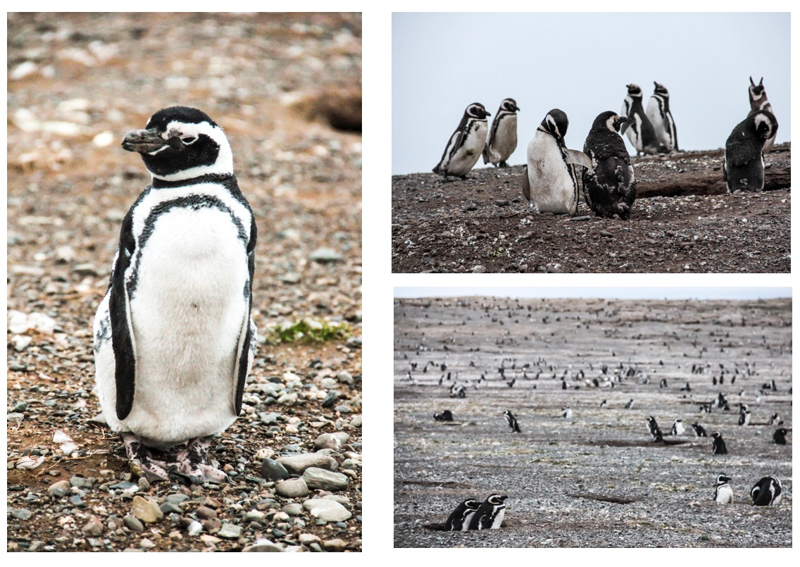 Des pingouins sur l'île Magdalena au Chili. Croisière en Patagonie.
