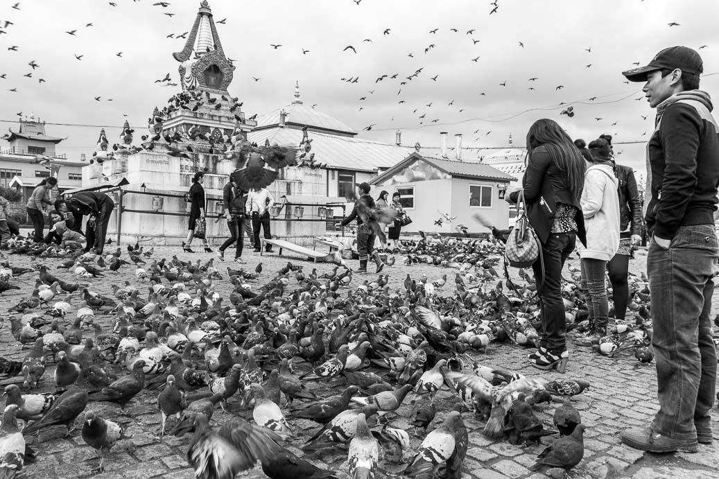 Pigeons sur la place principale du Monastère de Gandantegchinlin