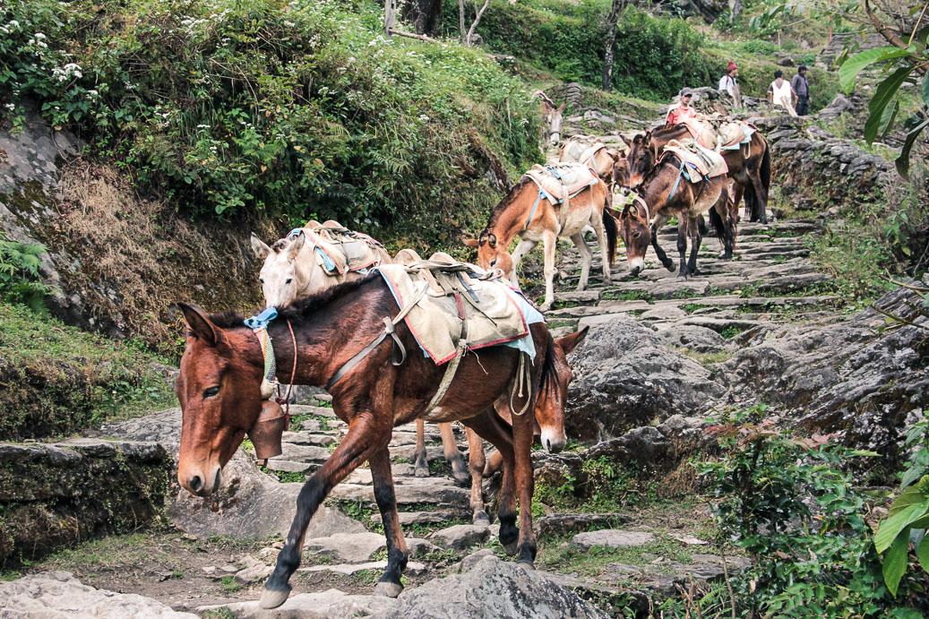 Les mules sur les marches vers Ulleri. Trek de Poon-Hill