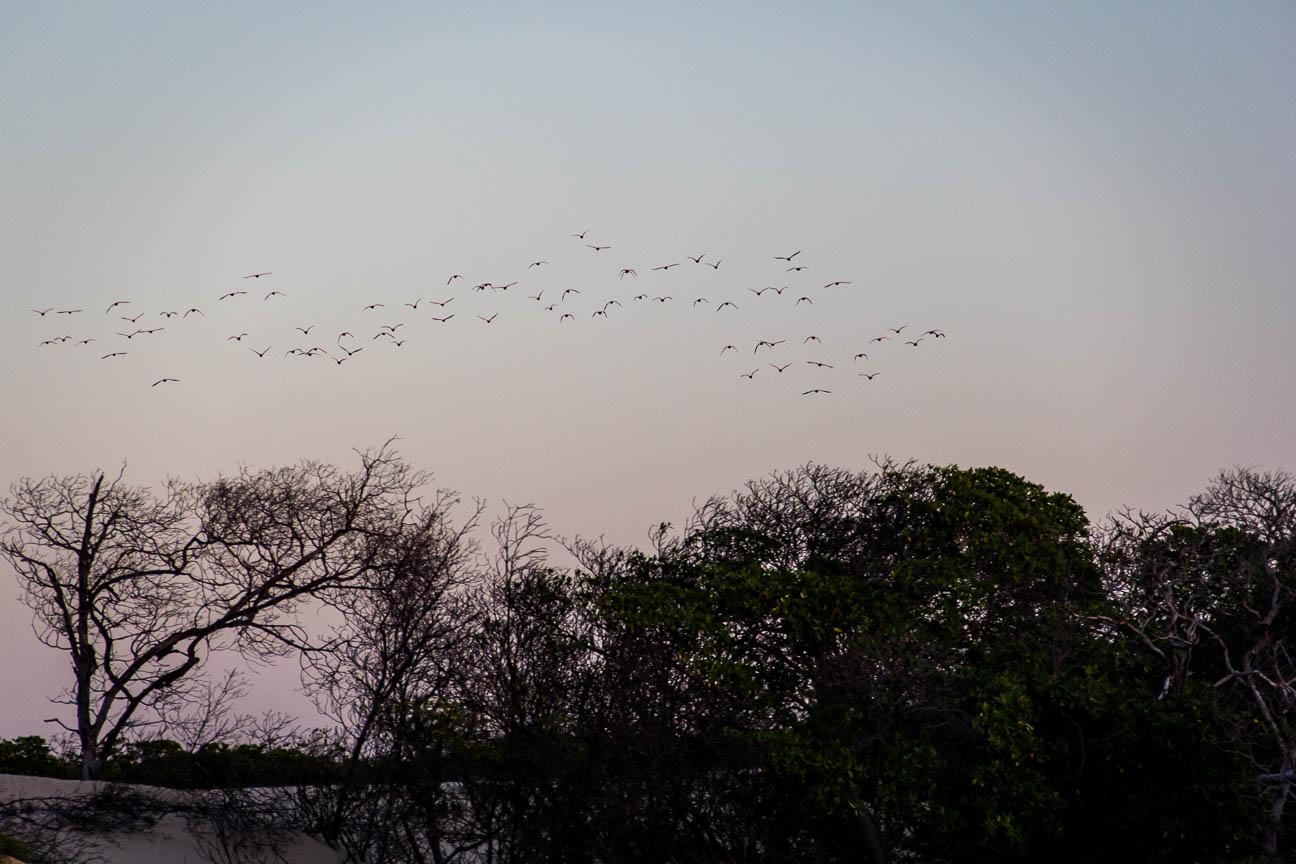 Des Guaras s'envolent au coucher du soleil - Route des Sensations