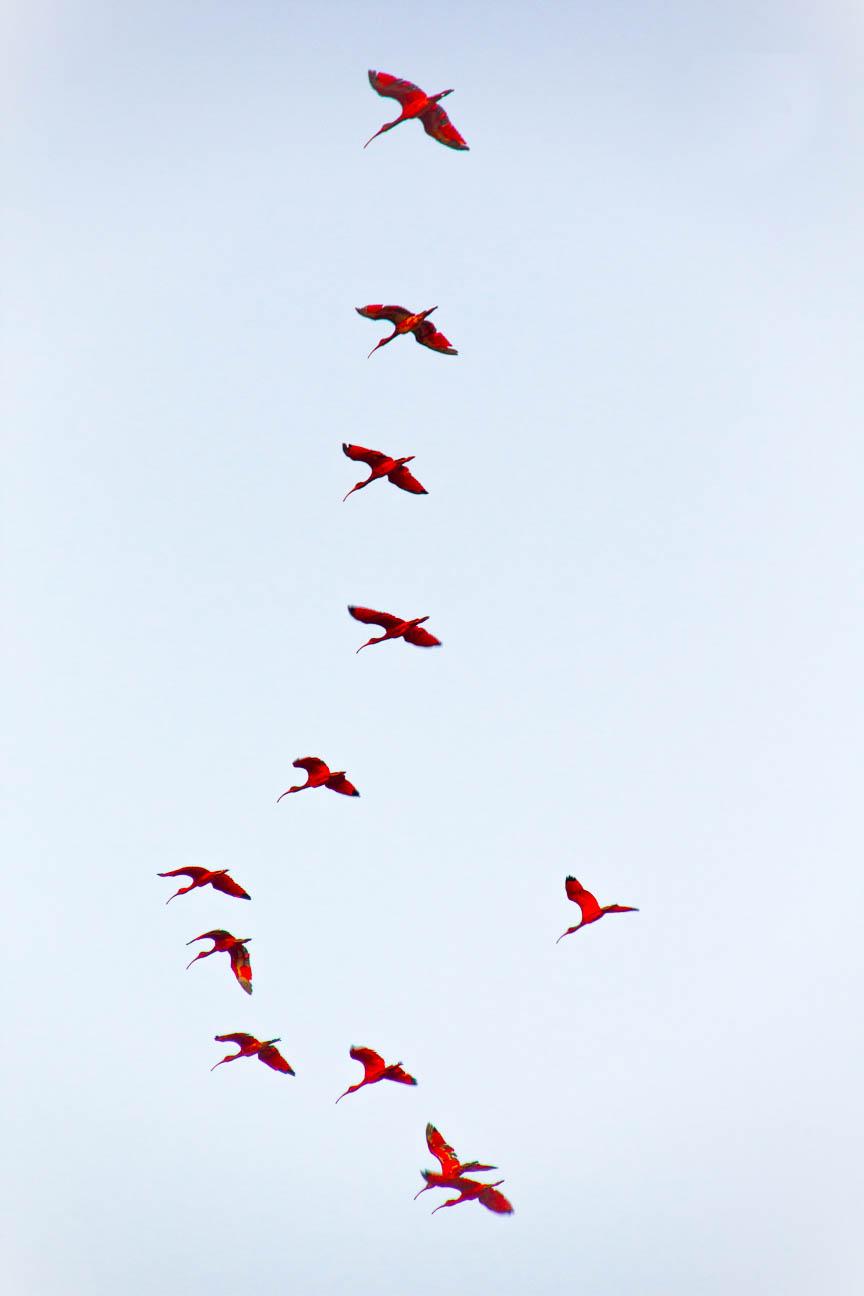 vol de guaras à Atins - Route des Sensations