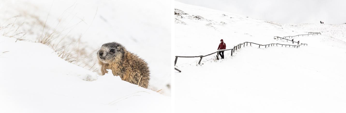 Une marmotte et le sentier à Seceda dans les Dolomites.
