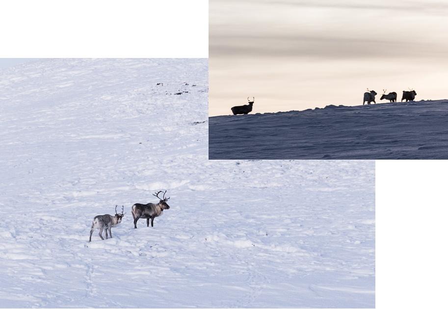 Des rennes sauvages dans les plaines en Laponie.