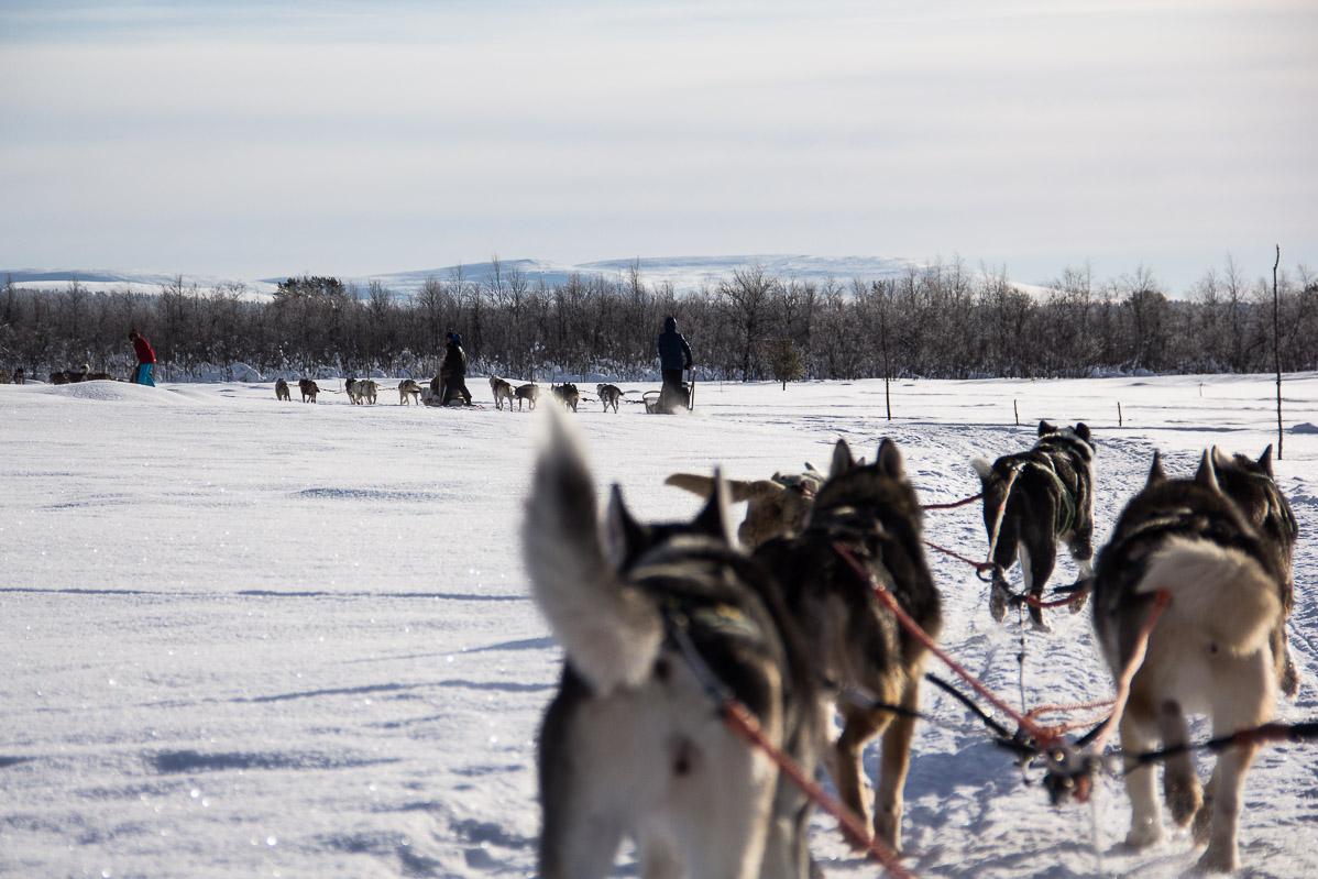 Balade en traîneaui à chiens. Que faire en Laponie.